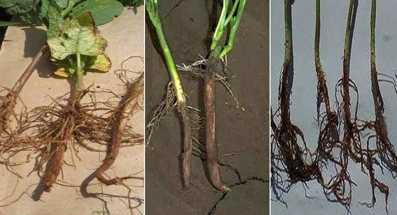 علایم پوسیدگی فوزاریومی ریشه بر روی قسمت تحتانی و ریشه لوبیا