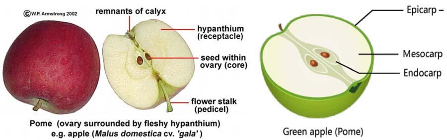 انواع میوه پوم نظیر سیب و گلابی