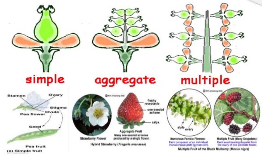 انواع میوه های آبدار و گوشتی