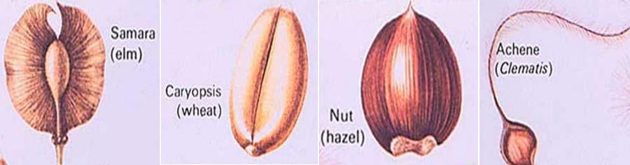 میوه های خشک ناشکوفا در طبقه بندی انواع میوه