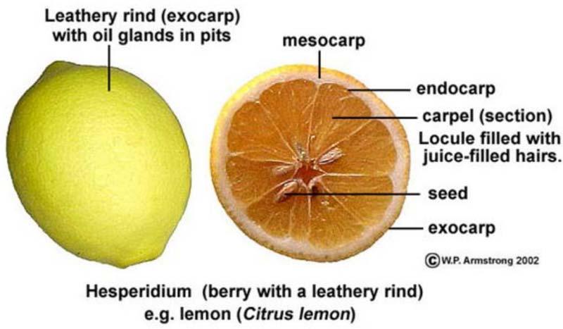 میوه های هیسپیریدیوم در طبقه بندی میوه ها